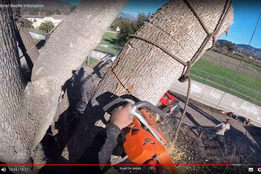 PSHB infested tree being removed