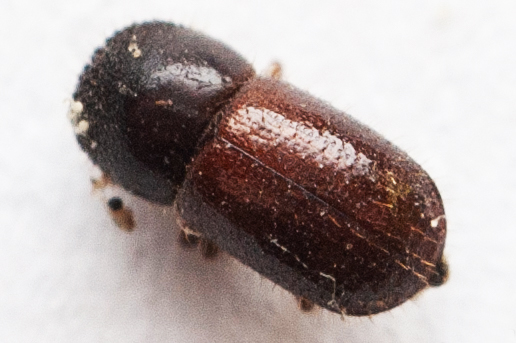beetle identification Archives - PSHB co za