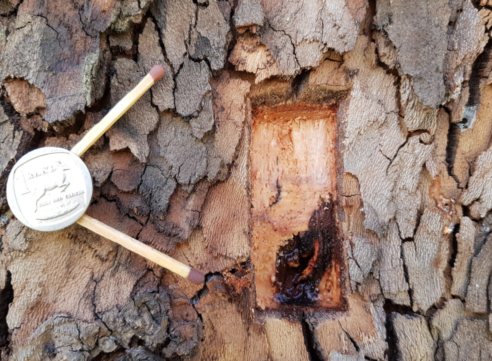 PSHB Shot Hole Borer - London Plane - AFTER